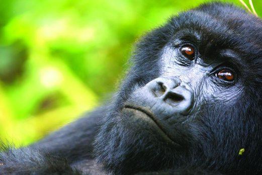 Rwanda: Gorillas in the Mist