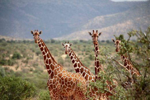 The Safari Series